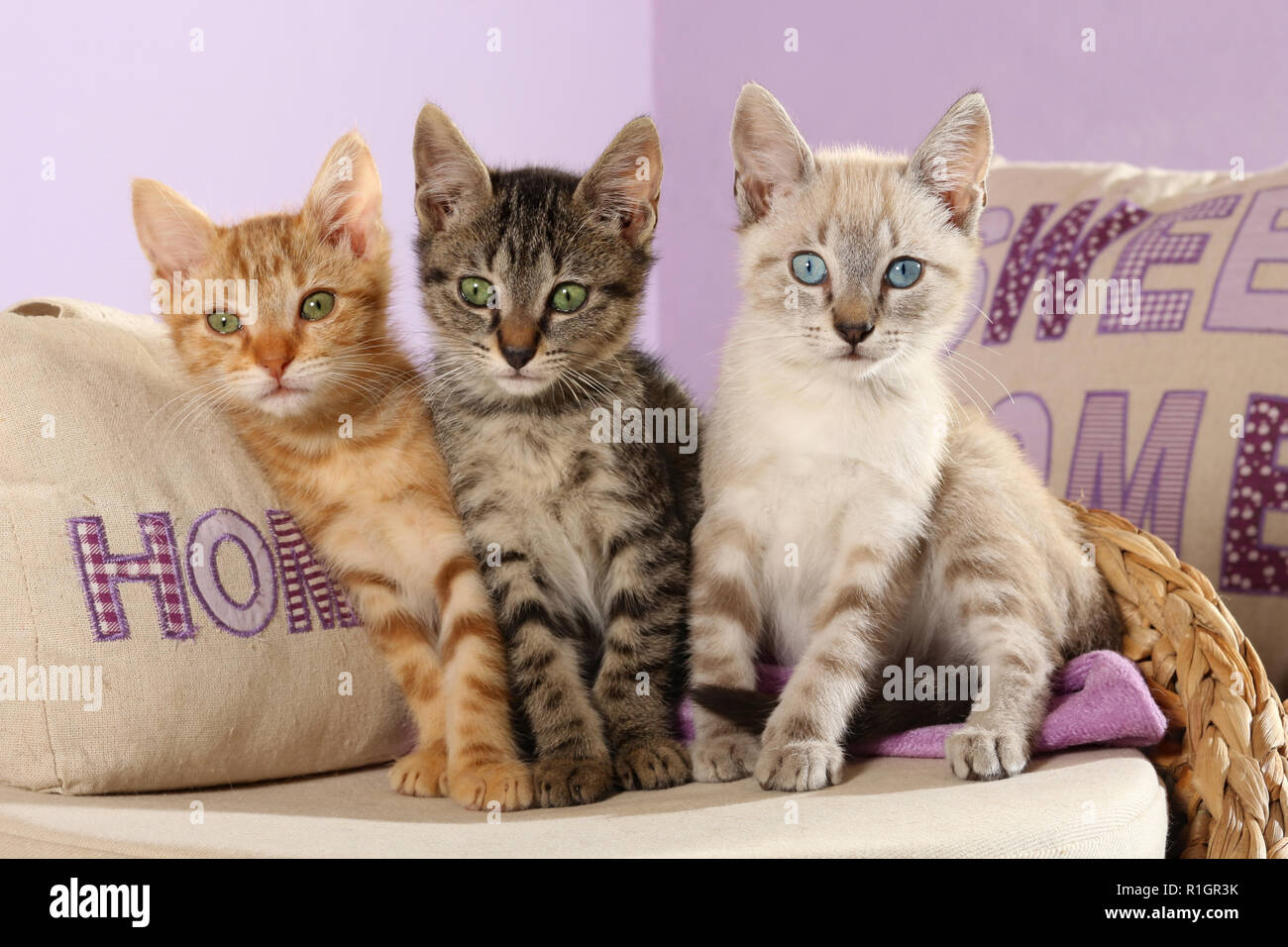 three kittens, 10 weeks old, seal tabby point, black tabby and red tabby ,sitting on a pillow - Stock Image