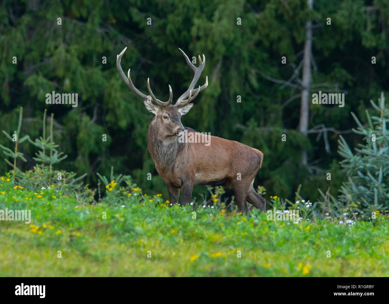 Red deer stag ( Cervus elaphus) in rut season - Stock Image