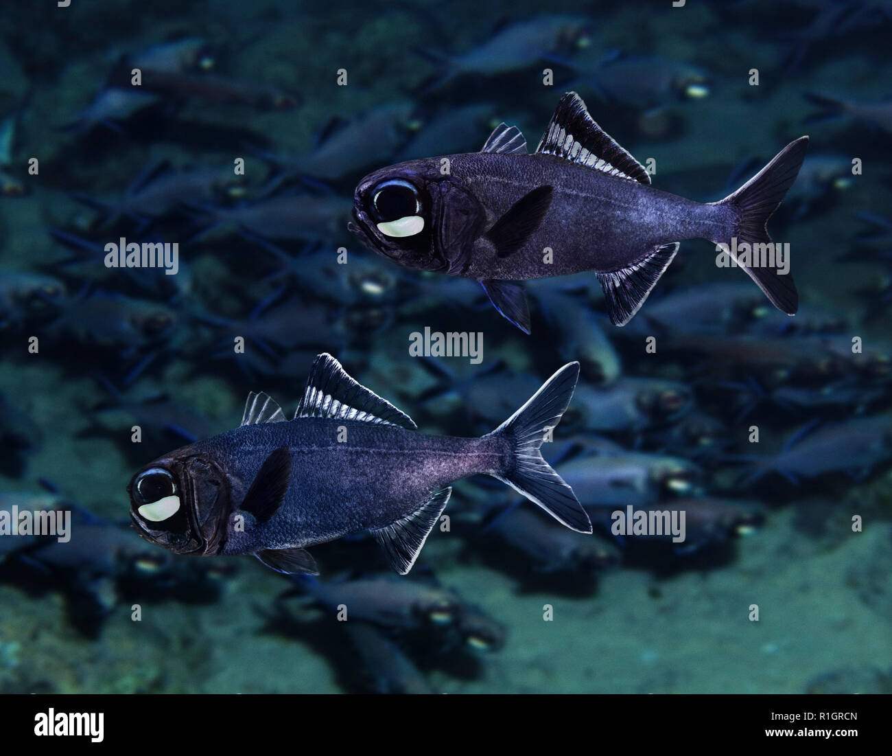 Splitfin flashlightfish or two-fin flashlightfish, Anomalops katoptron. They have two bean shaped torch-like organs under its eyes containing - Stock Image
