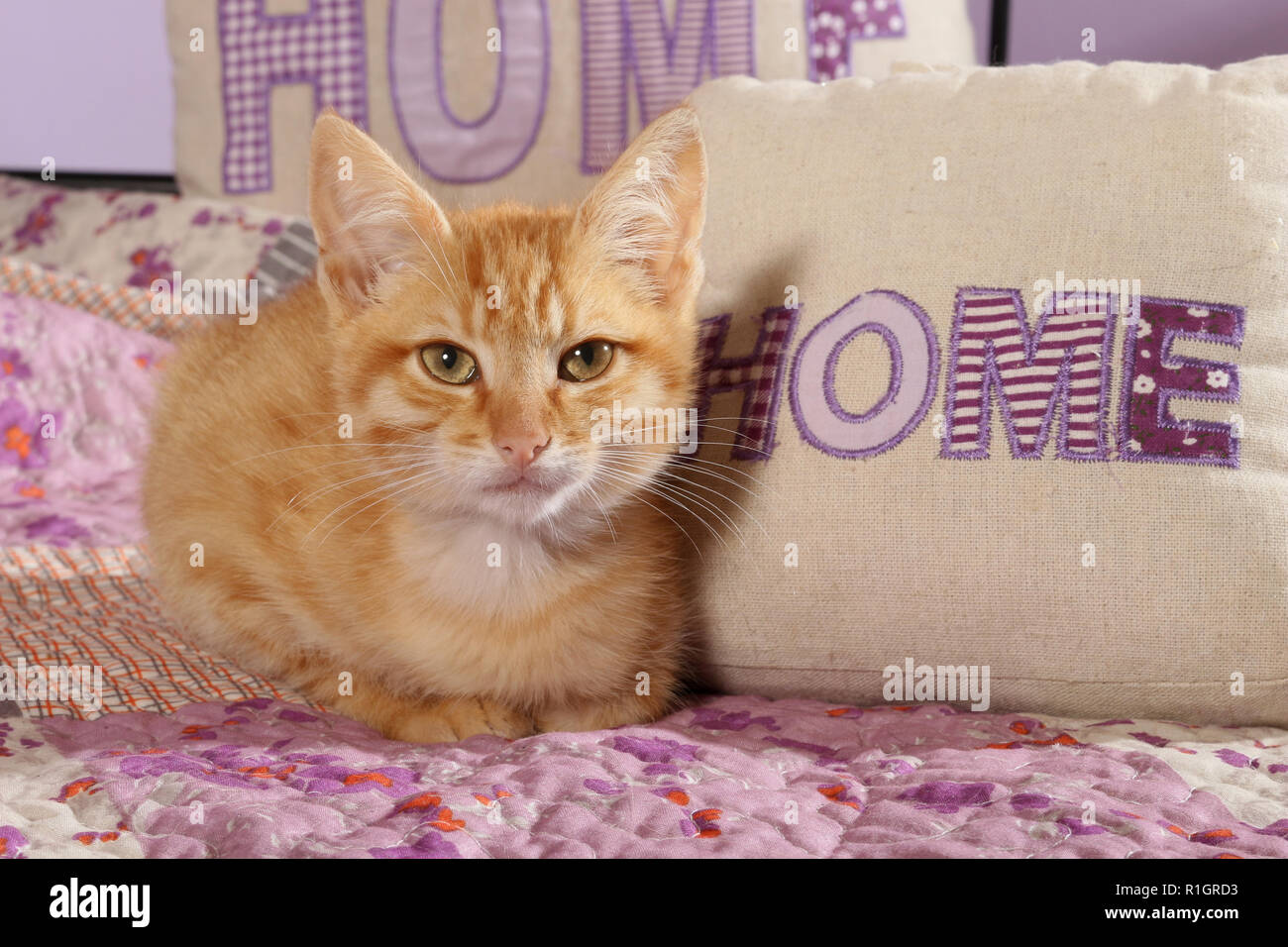 young domestic cat, 3 month old, ginger, sitting on a bed - Stock Image