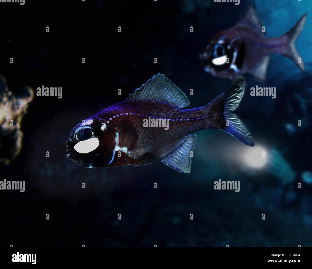 Eyelight fish or one-fin flashlightfish, Photoblepharon palpebratus. They have subocular bioluminescent organs which it likely uses to attract and - Stock Image