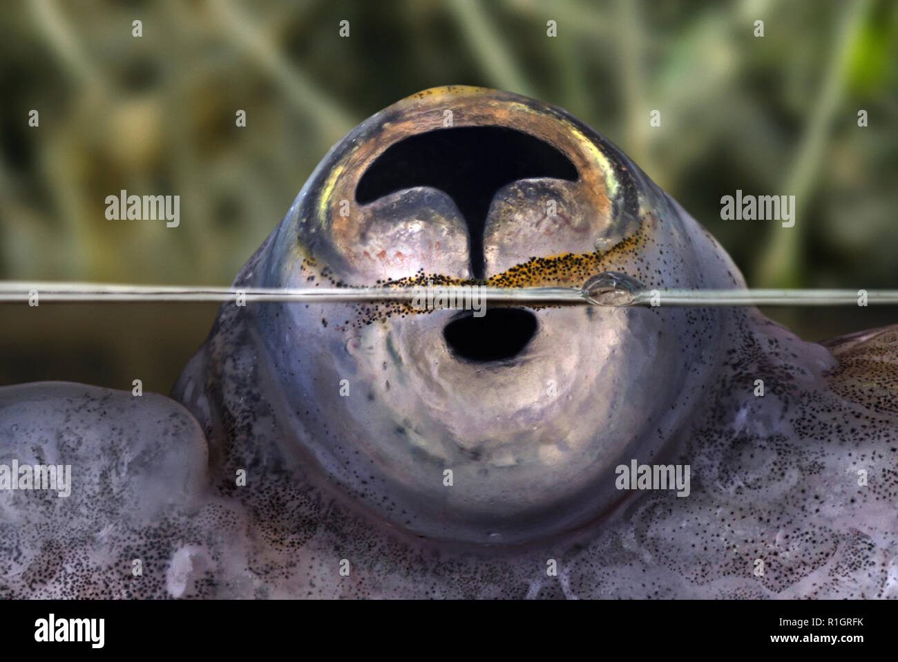 Four-eyed fish, Anableps anableps, eye detail. Four-eyed fish have only two eyes, but the eyes are specially adapted for their surface-dwelling - Stock Image