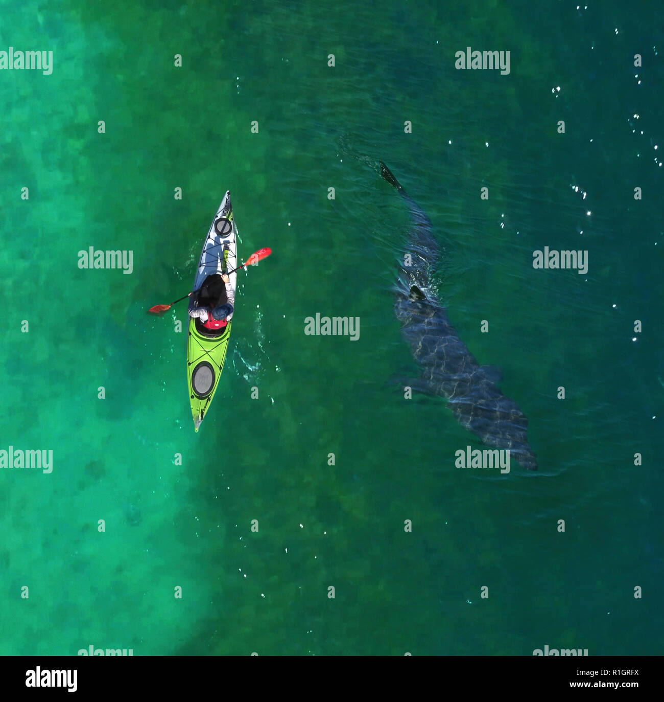 Aerial view of Basking shark, Cetorhinus maximus, and kayak. is the second-largest living shark, after the whale shark, and one of three - Stock Image