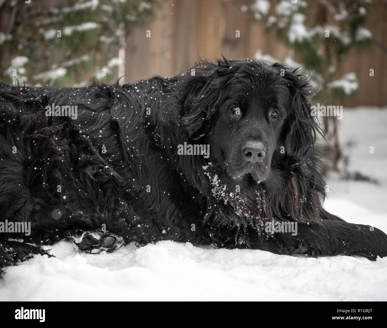 Giant black newfoundland dog laying in snowy landscape with trees and fence behind. - Stock Image