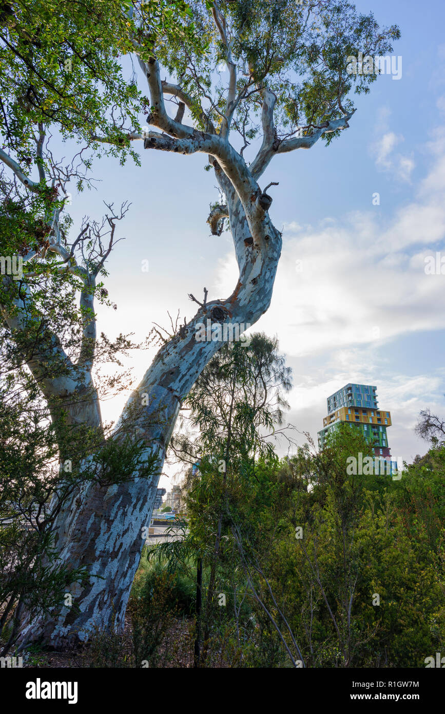 The Ngargee, or Corroboree, Tree in St Kilda, in inner Melbourne. - Stock Image