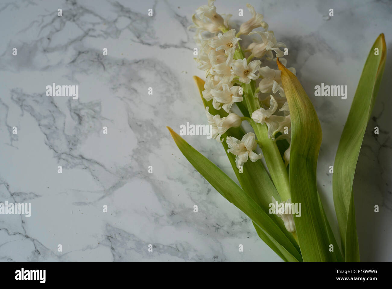 Solemn Hyacinth Flower Bunch Lying on Cool Marble Among Pollen and Water Droplets - Stock Image