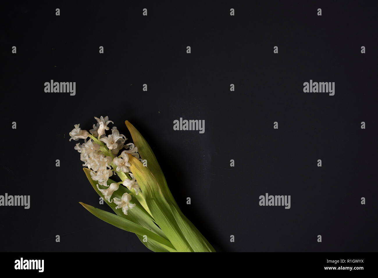 Somber Floral Wabi Sabi: White Hyacinths Curling on a Dark Background with plenty of room for copy - Stock Image