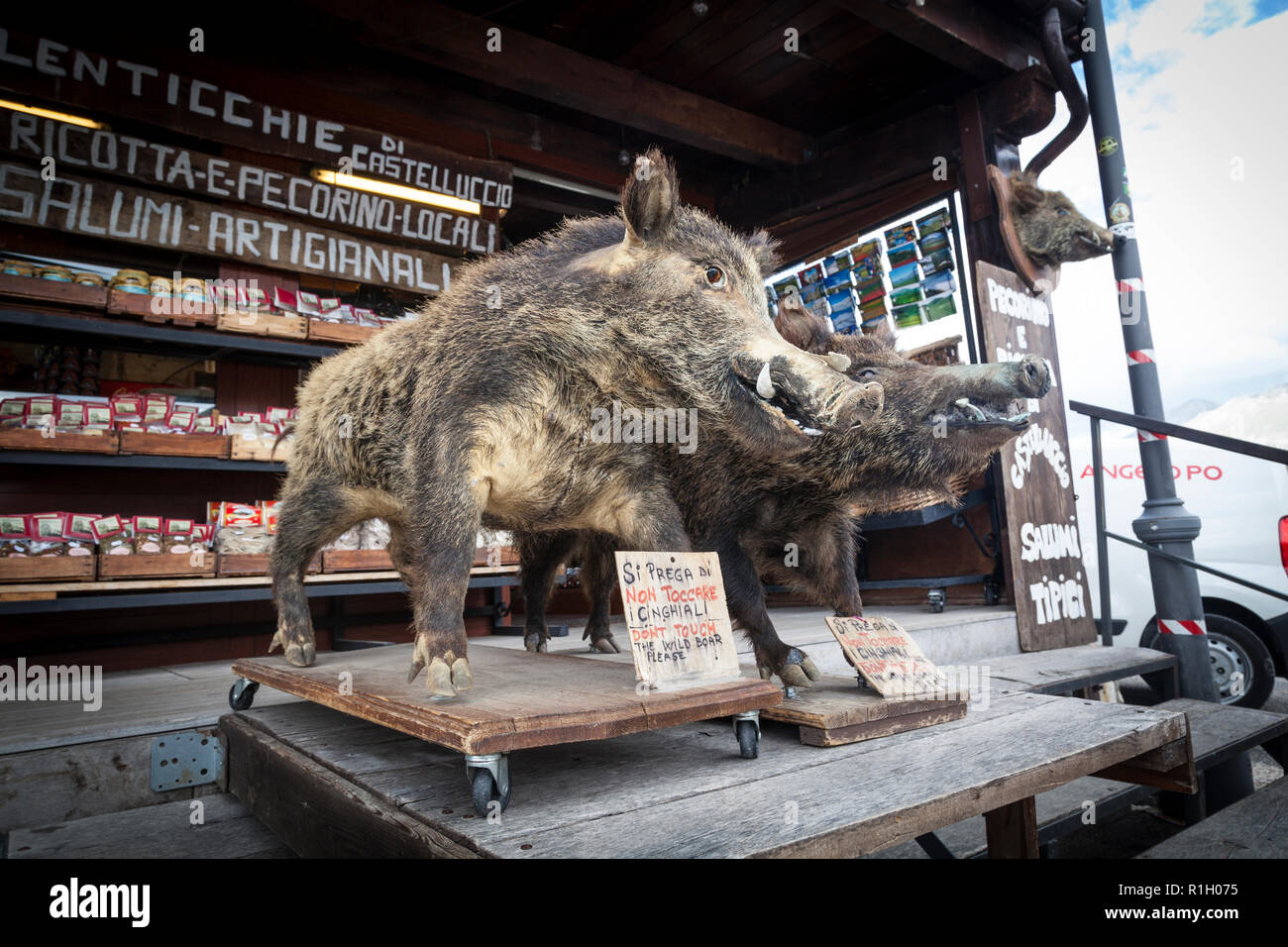 Stuffed wild boars used to advertise wild boar meat on a shop stall in Castelluccio in the Sibillini Mountains. - Stock Image
