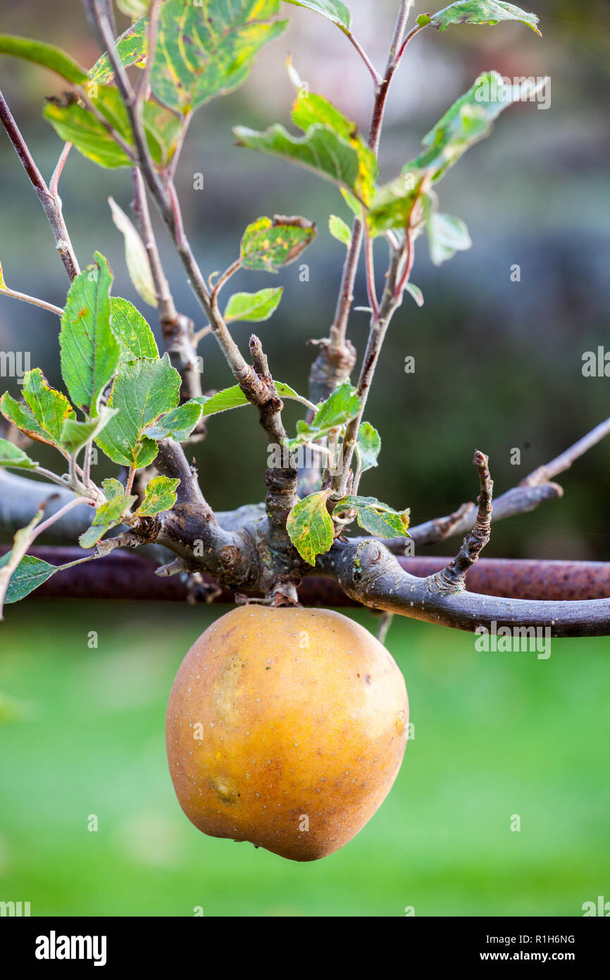 Apple Egremont Russet Malus domestica  growing in an English apple orchard Cheshire England UK - Stock Image