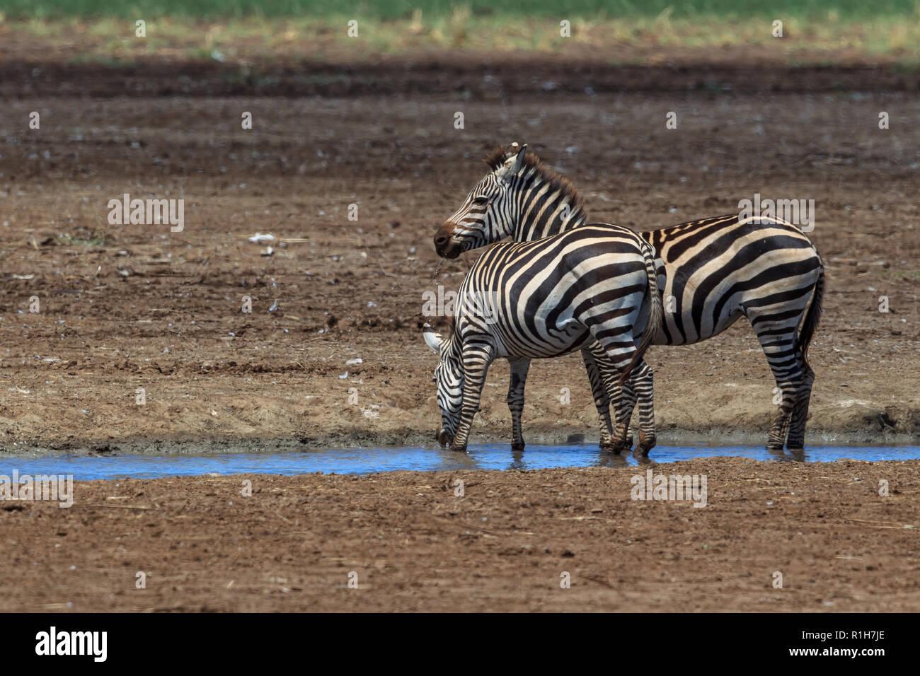 Common zebra in Lake Manyara, Tanzania - Stock Image