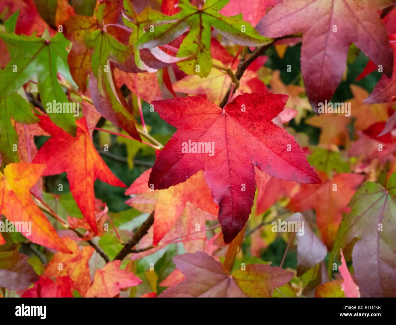Liquidamber styraciflua leaves at Westonbirt arboretum in Gloucestershire UK showing range of colour change in autumn - Stock Image