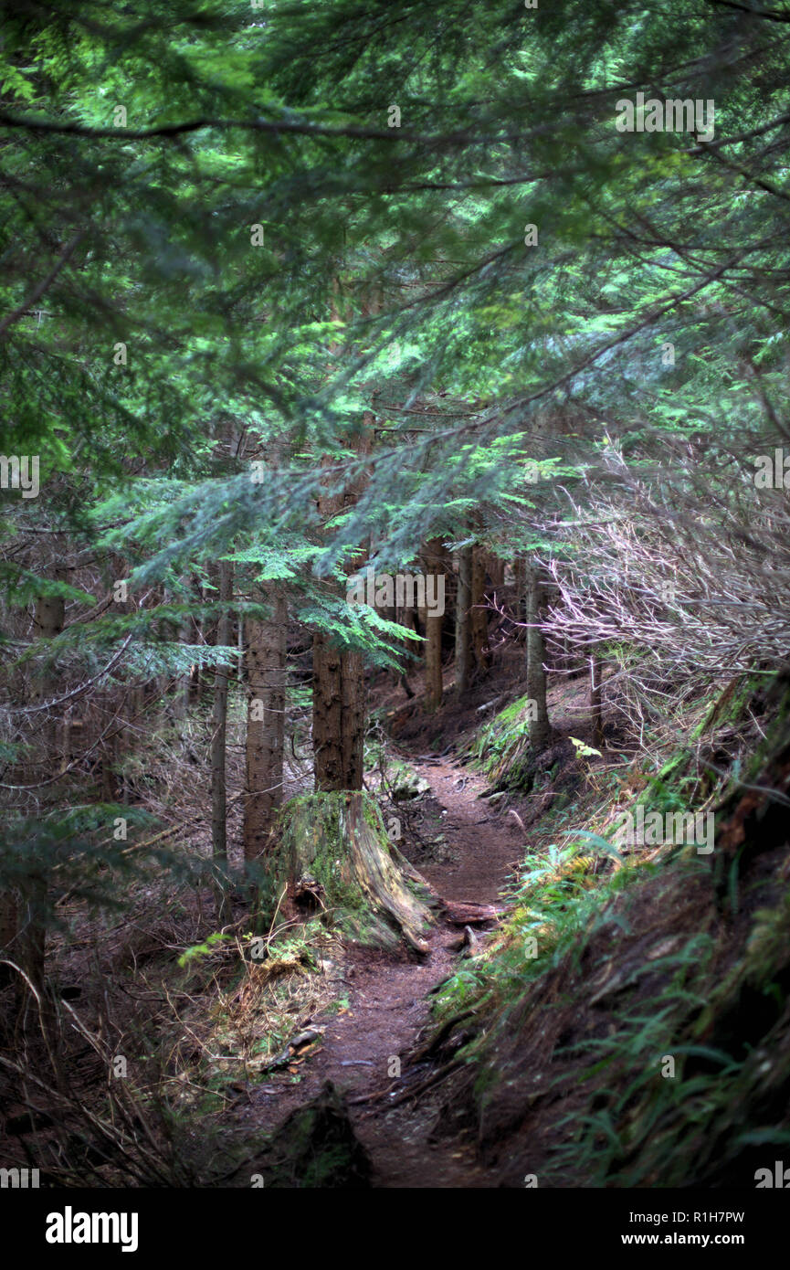A hiking trail in Eagle Mountain, Anmore, BC, Canada, in the deep dark and bright green conifer forest, in late afternoon - Stock Image
