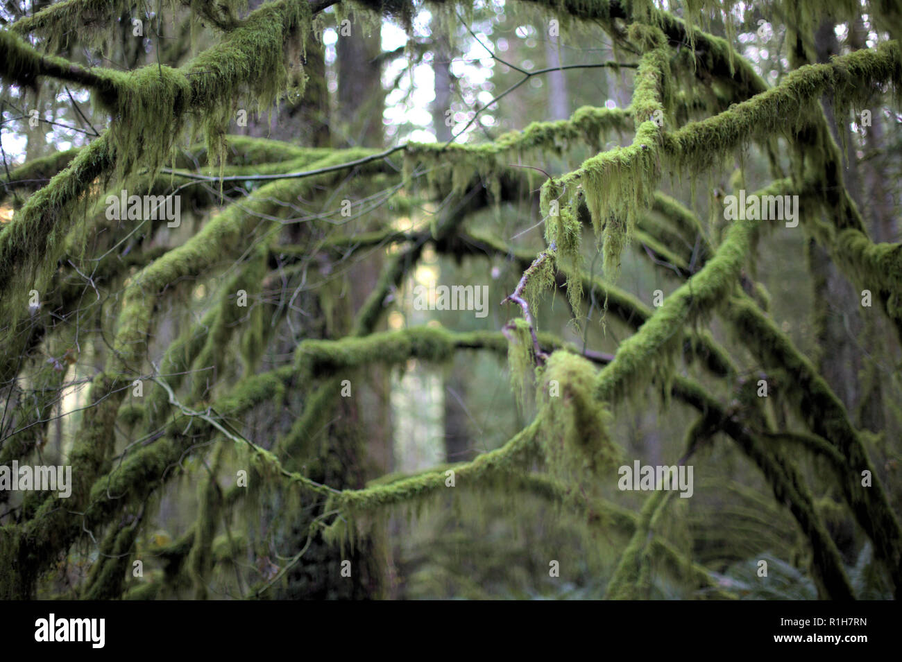 Moss-covered green branches in the humid forest of Eagle Mountain, Anmore, BC, Canada, in autumn, with a bright white background - Stock Image