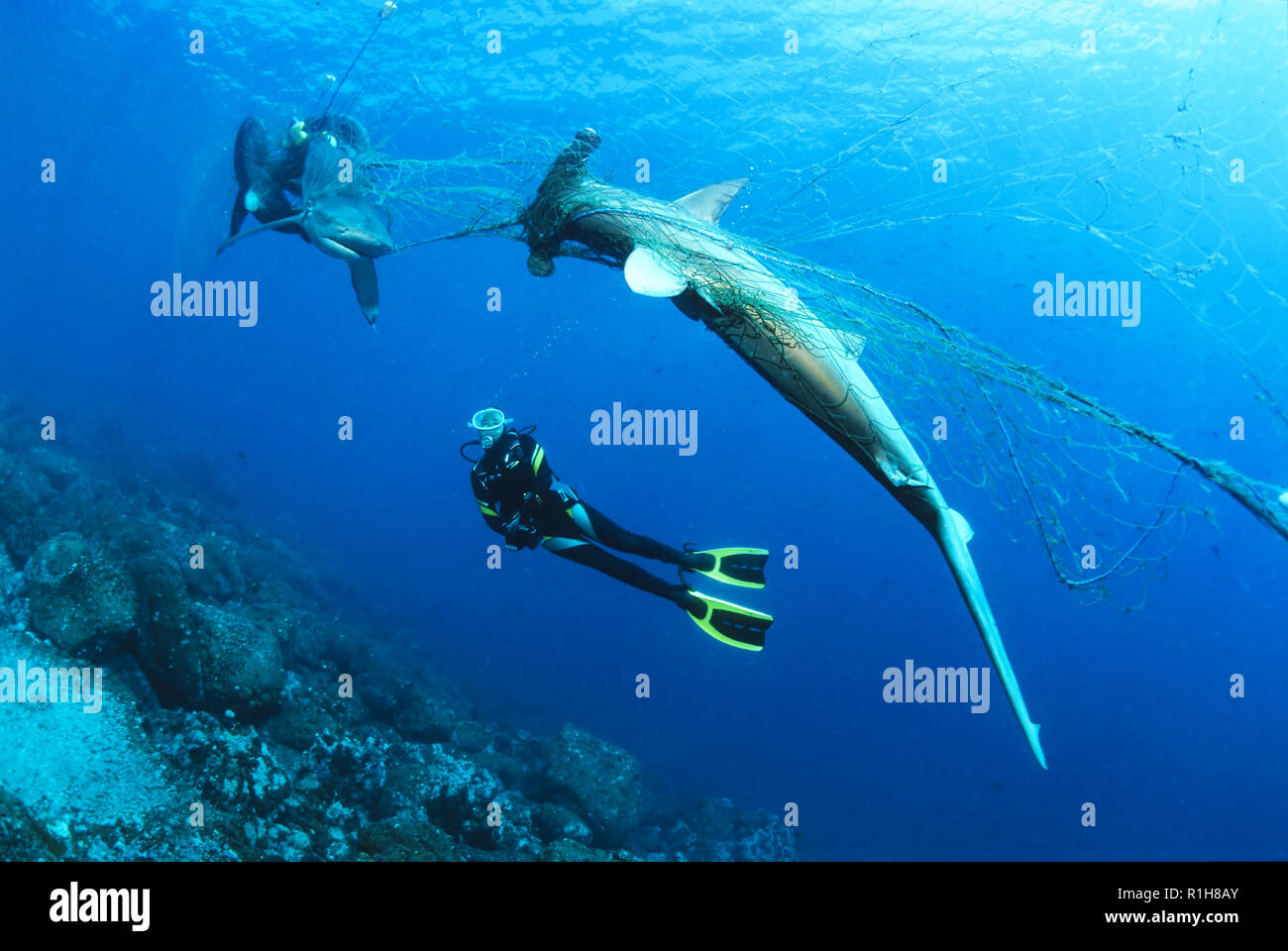 Diver considers dead Scalloped Hammerhead (Sphyrna lewini) and Galapagos shark (Carcharhinus galapagensis) in orphaned fishing - Stock Image