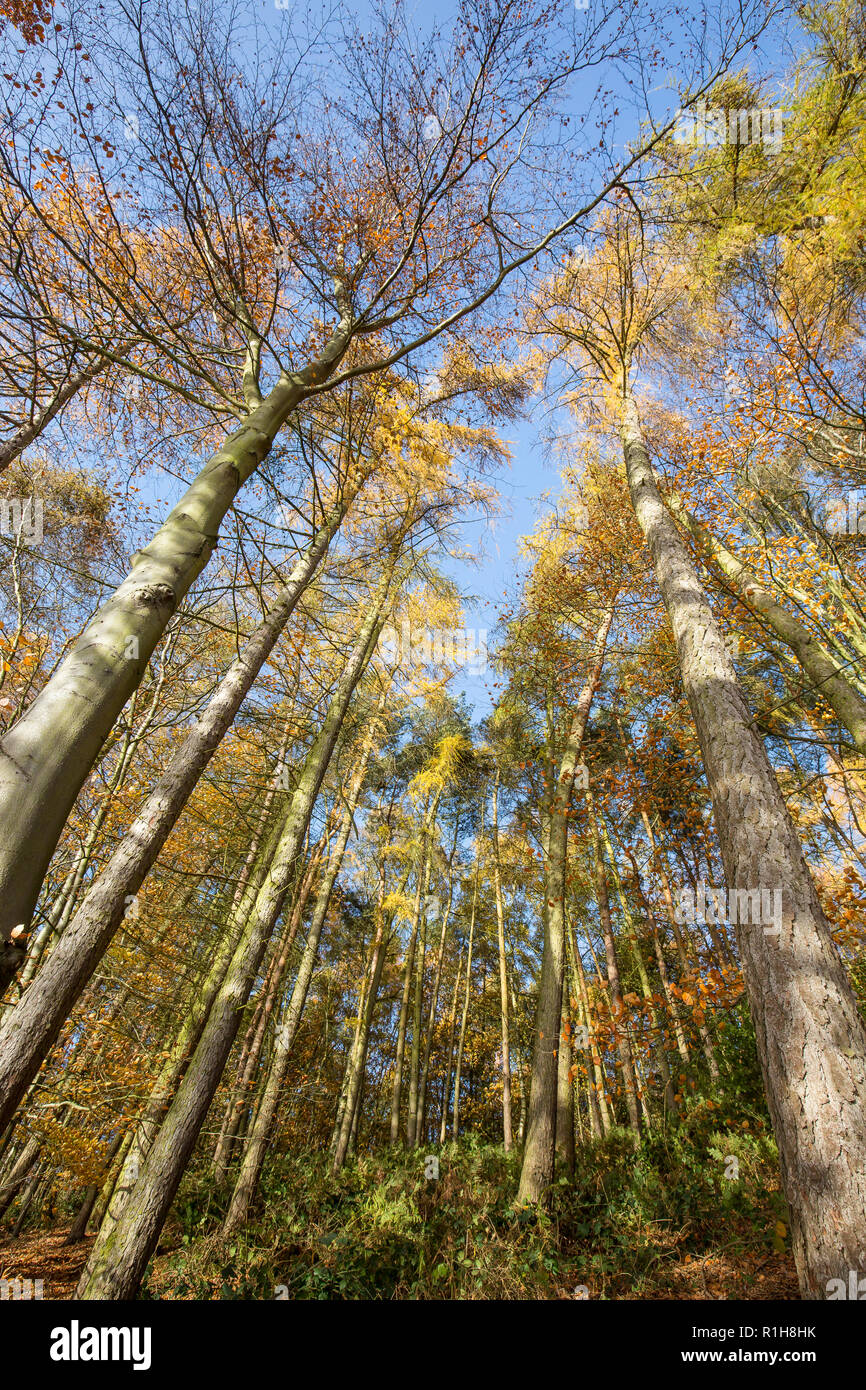 Low-angle, worm's-eye view of autumn tree tops (portrait capture) in UK woodland. Looking up to forest canopy & blue sky from down below on ground. - Stock Image