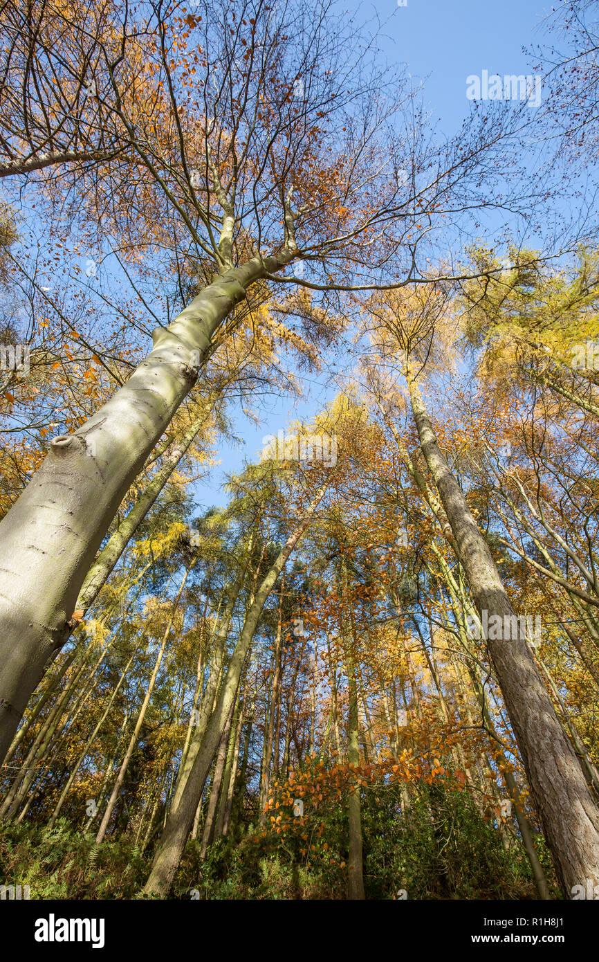 Low-angle, worm's-eye view of autumn treetops (portrait capture) in UK woodland. Looking up to forest canopy from below. - Stock Image