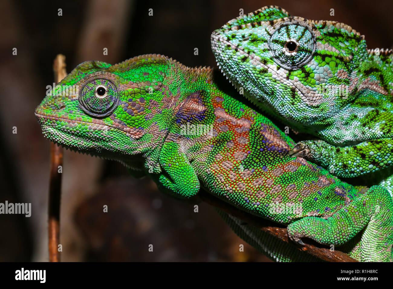Two Jewel chameleons (Furcifer lateralis), male, Central Highlands, captive, Madagascar - Stock Image