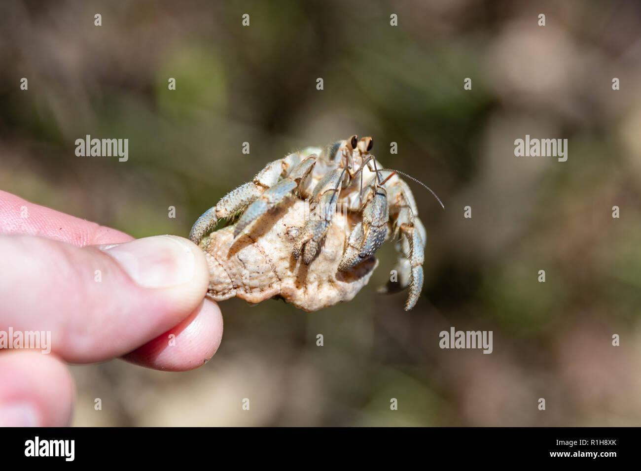 Small blueberry hermit crab (Coenobita purpureus), shell held by fingers; Okinawa, Japan - Stock Image