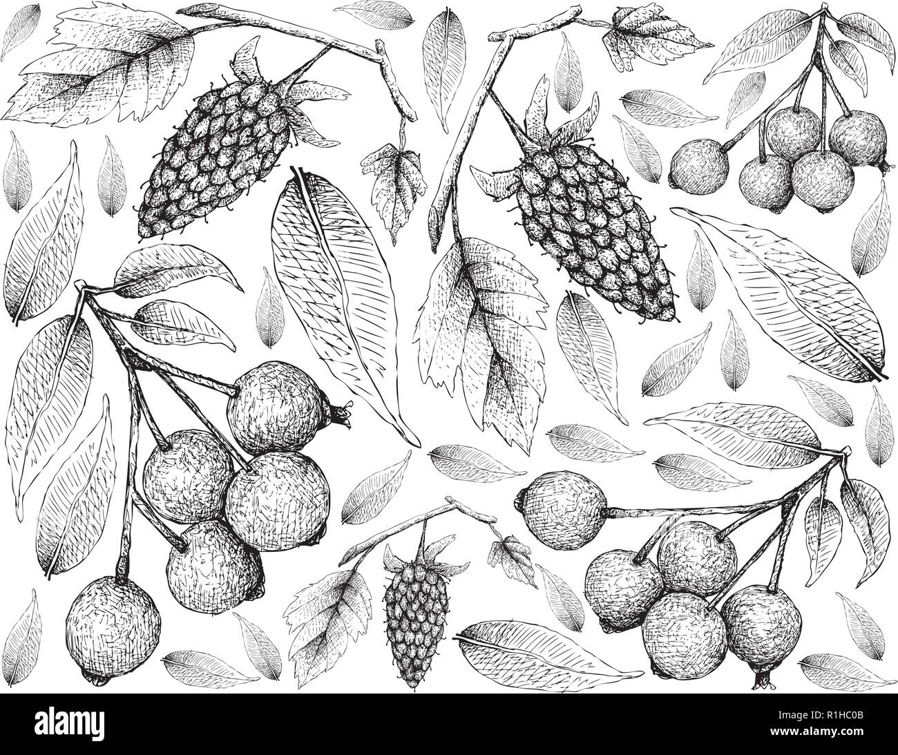 Berry Fruit, Illustration Wallpaper of Hand Drawn Sketch of Loganberries and Magenta Lilly Pilly, Magenta Cherry or Syzygium Paniculatum Fruits Isolat - Stock Vector