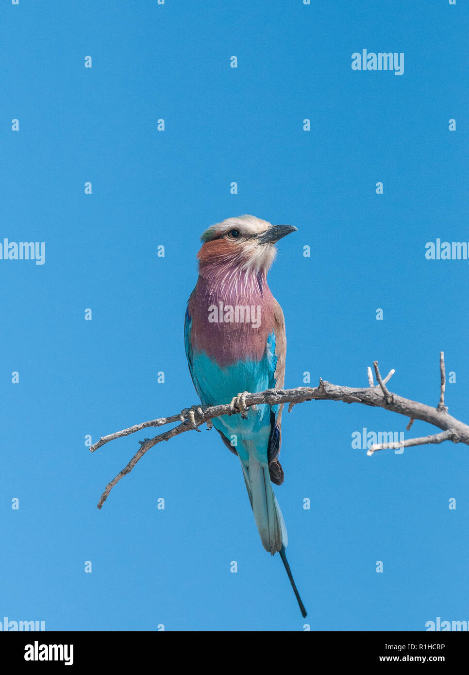 lilac breasted roller sitting in a tree with blue sky behind. Etosha national Park, Namibia - Stock Image