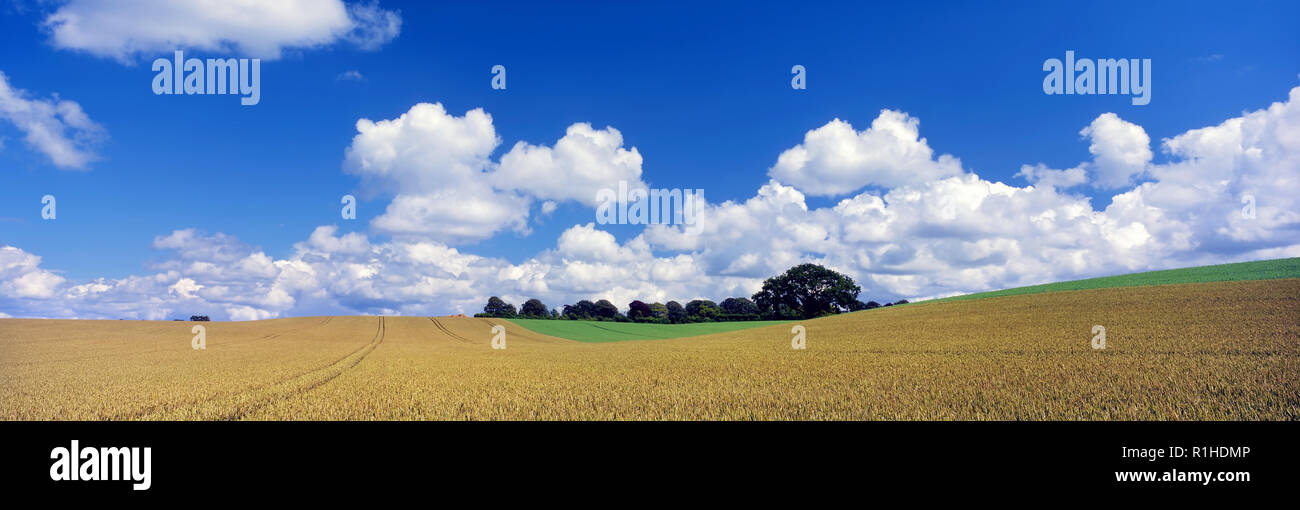 Cumulus clouds gather over a wheat field in the fertile farmland of rural Hampshire, England. - Stock Image