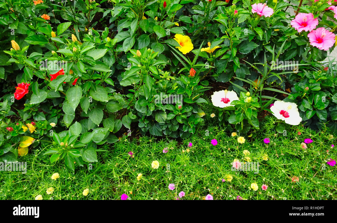 Several flowers in different colors on Penang in Malaysia - Stock Image