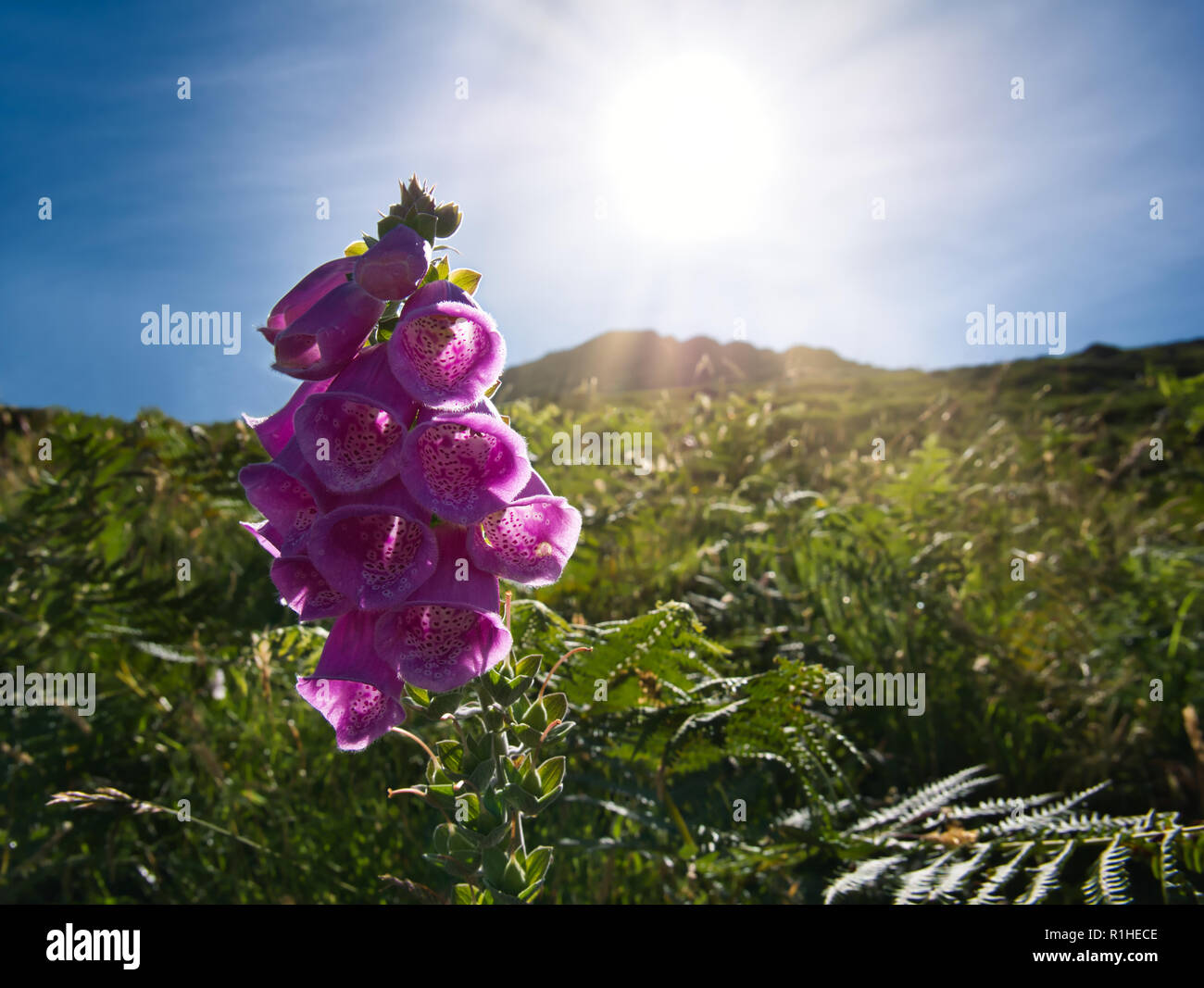 The rays of the sun shine through a purple flower in the middle of the green grass. - Stock Image