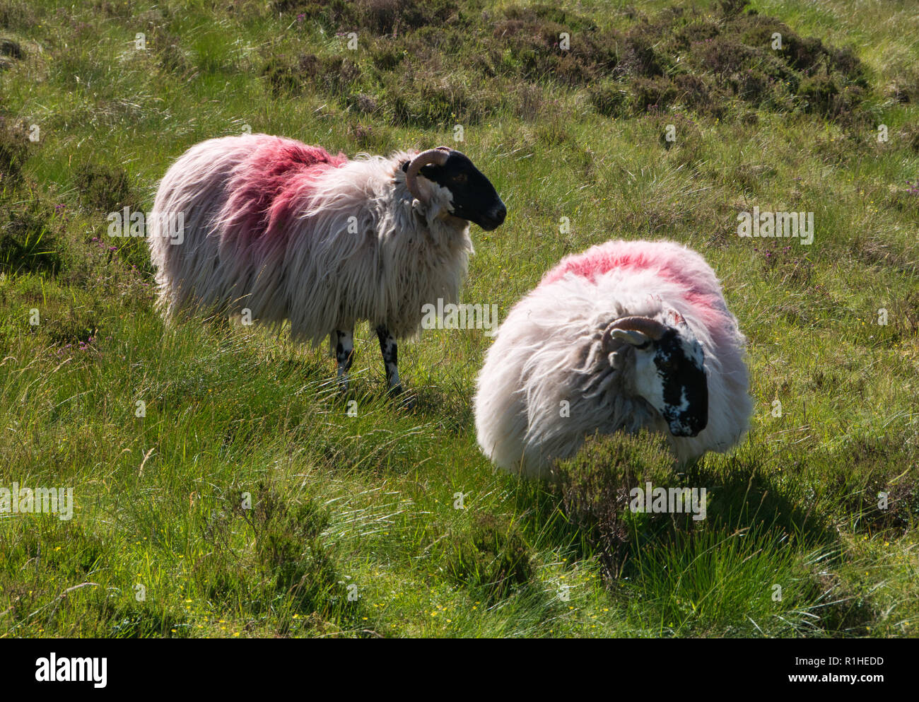 Two sheep with thick fur on a meadow with high grass in Ireland - Stock Image