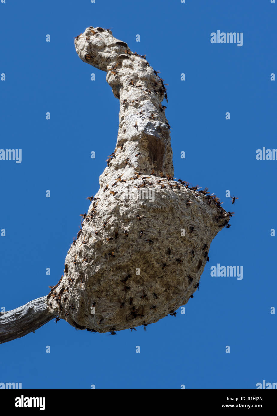 Wasps fanning their nest built high up on a tree. Waigeo Island, Raja Ampat, Indonesia - Stock Image