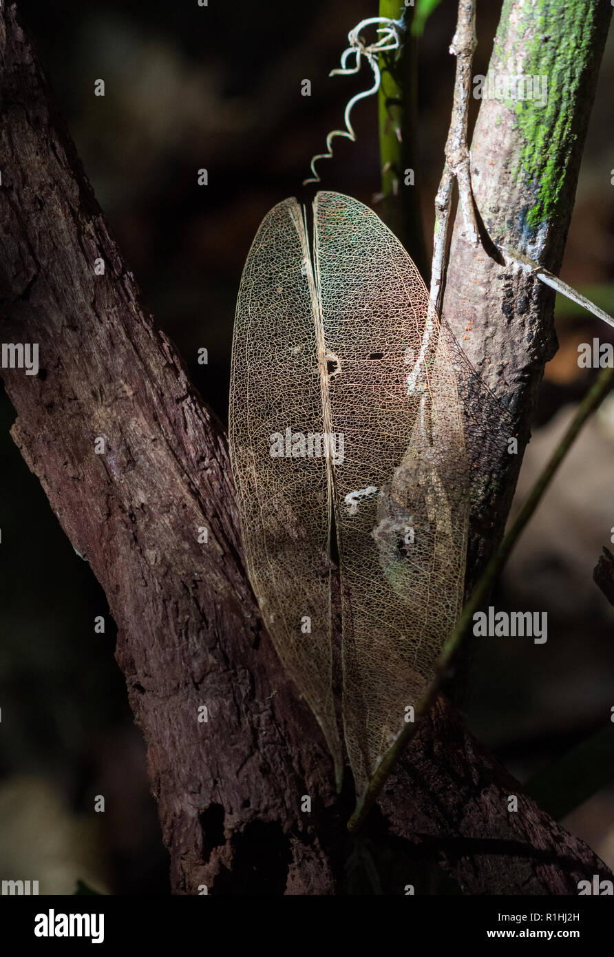 A decayed leaf with only veins preserved. Waigeo Island, Raja Ampat, Indonesia - Stock Image