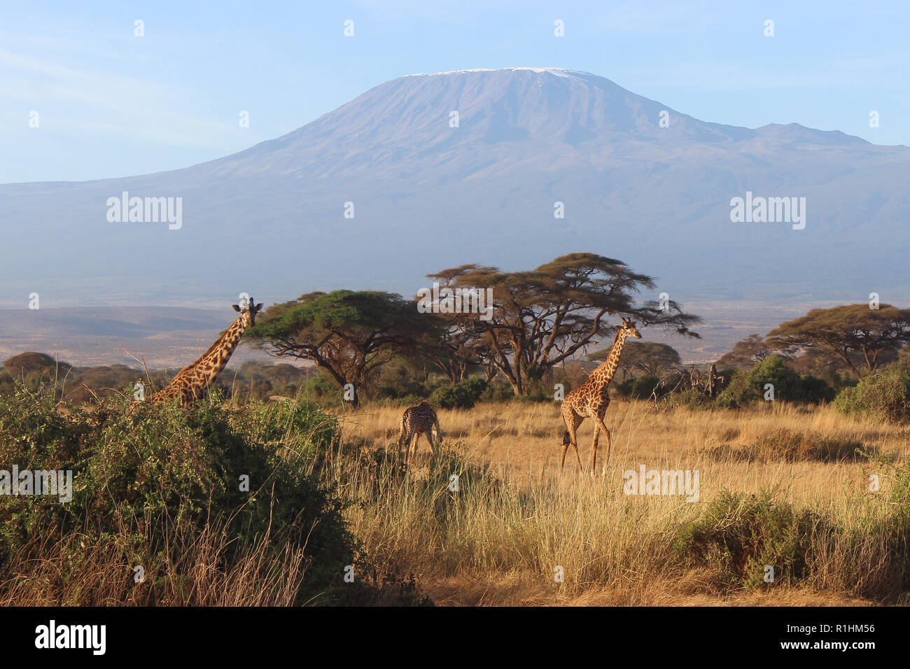 Panoramic view of the Mount Kilimanjaro with giraffes crossing in front - Stock Image