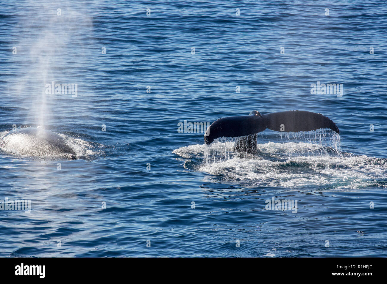 Antarctic minke whale (Balaenoptera bonaerensis). This whale is found in the Southern hemisphere, spending the winter in tropical waters and migrating Stock Photo