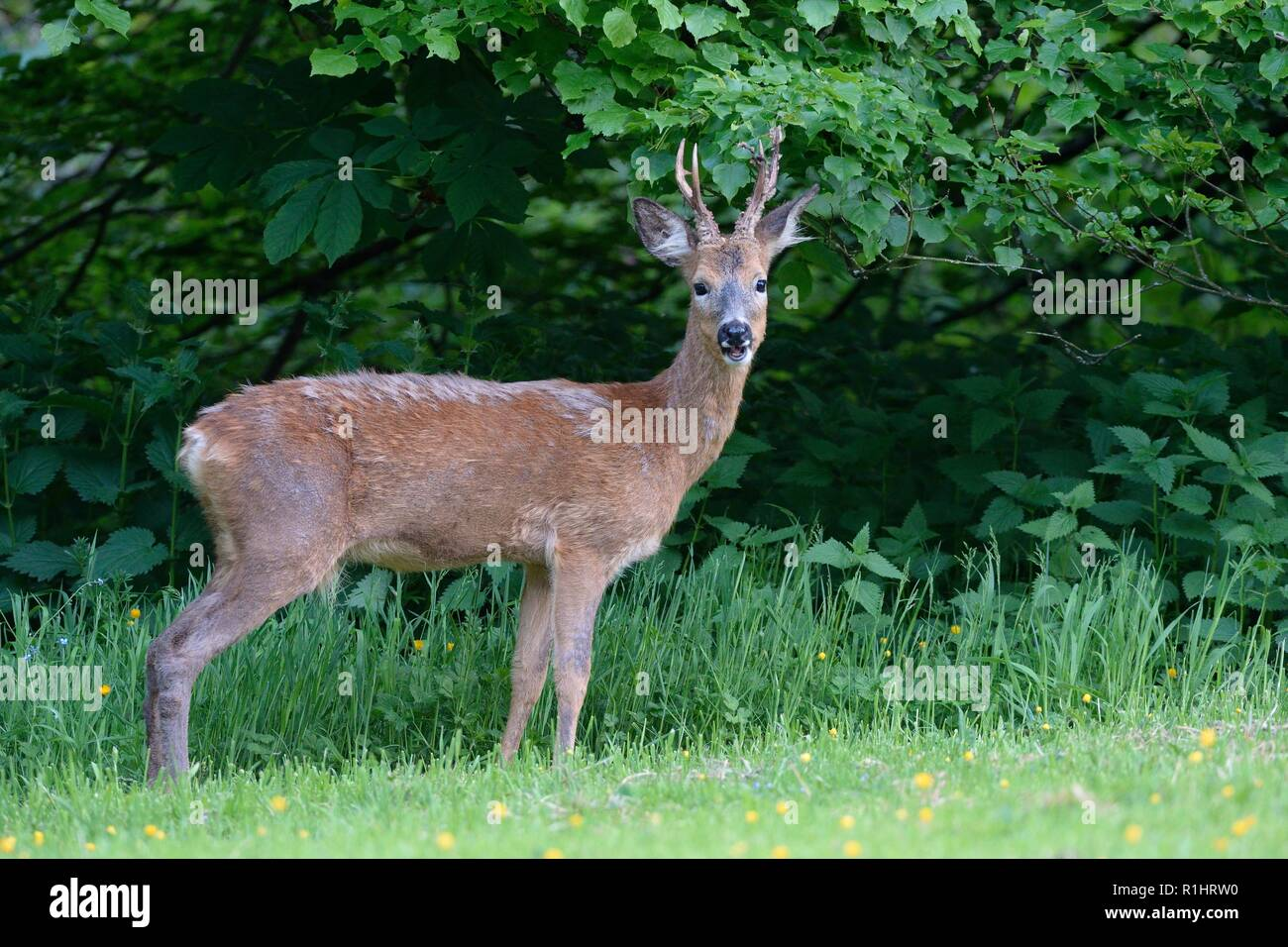 Roe deer (Capreolus capreolus) buck looking up after grazing a grassy woodland clearing at dusk, near Bath, UK, May. - Stock Image