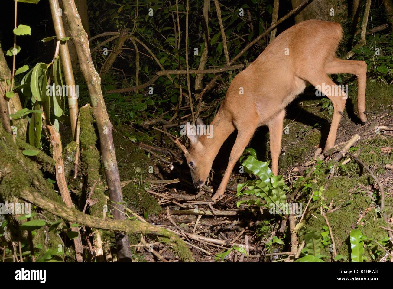 Roe deer (Capreolus capreolus) buck visiting a woodland stream to drink at night, near Bath, UK, May. - Stock Image