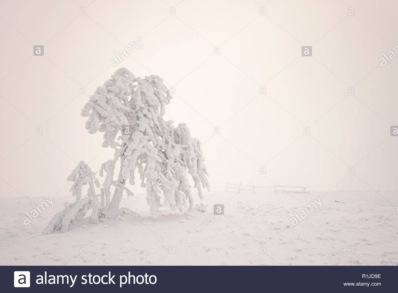 Hard rime on a tree surrounded by fog on the highest Rhoen peak named Wasserkuppe close to Gersfeld, district of Fulda, Hessia, Germany - Stock Image