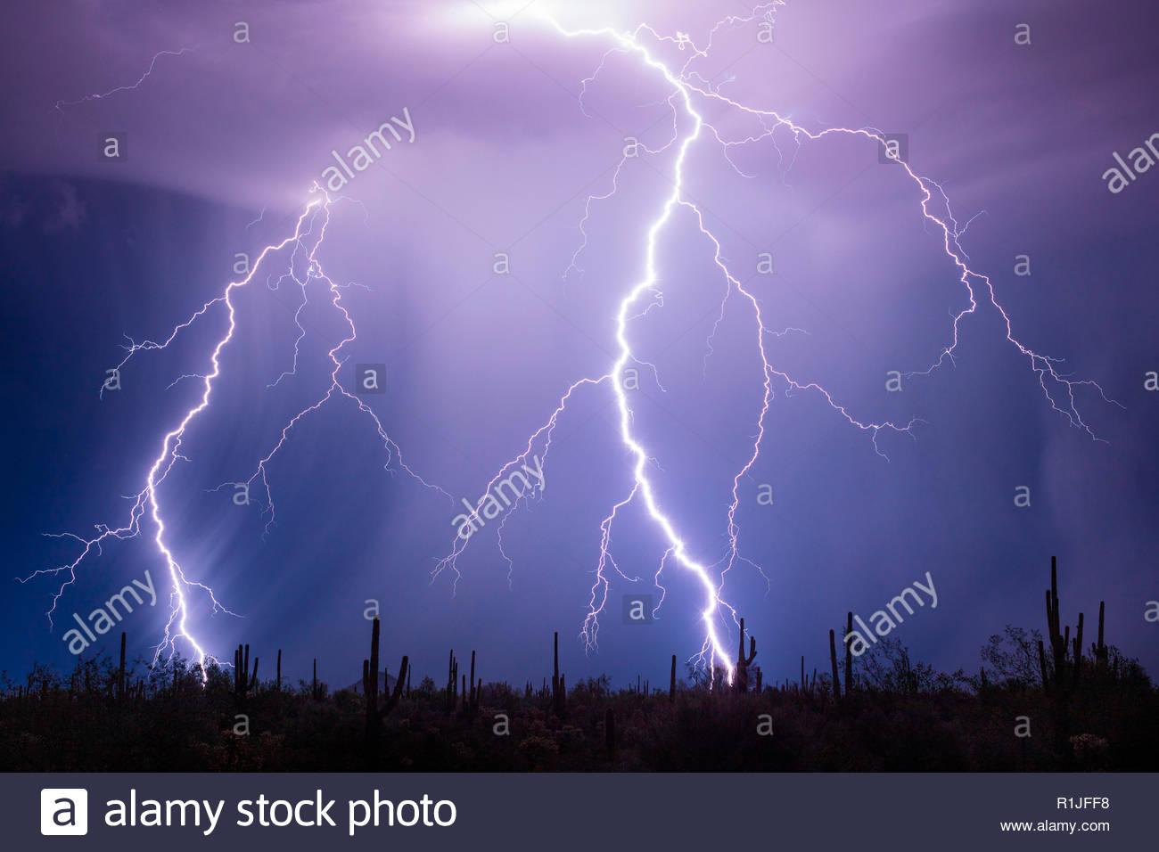 Stoic saguaro cactus (Carnegiea gigantea) watch as lightning blasts the landscape around them, Park Link Road, Arizona, USA on August 11th 2018 - Stock Image