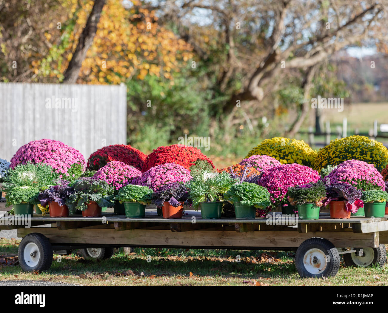 wagon full of mums at an East Hampton farm stand - Stock Image