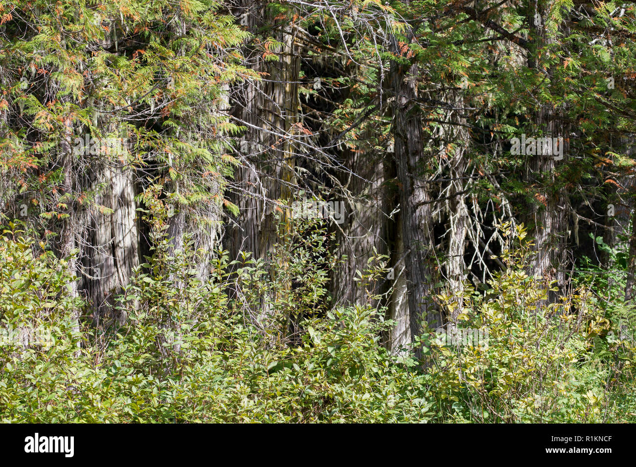 close view of the dense conifer woodland, Williams Lake area, Cariboo Mountains Park, British Columbia, Canada - Stock Image