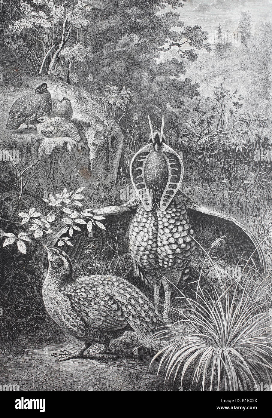 Digital improved reproduction, Tragopans is a bird genus in the Phasianidae family, which is commonly called horned pheasant - Stock Image