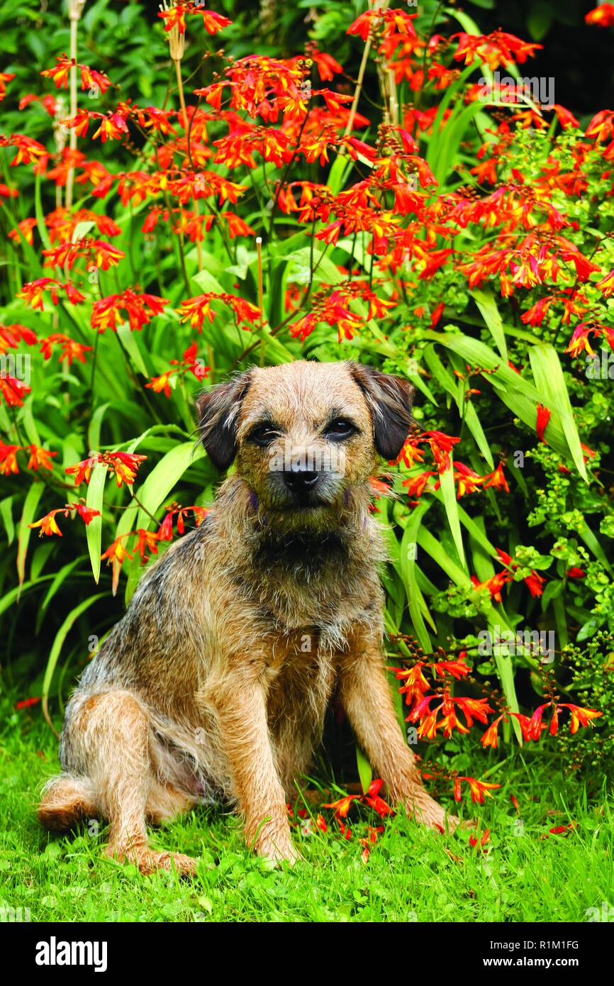 Border terrier sits relaxed in front of red and yellow flowering plant. Looking directly to camera in a nice framed shot of a family pet at ease. - Stock Image