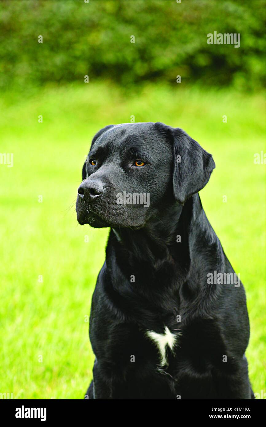Black Labrador, with white patch on chest,  looks intently out of shot whilst sitting. Training gun dog sits and awaits command in green garden area. - Stock Image