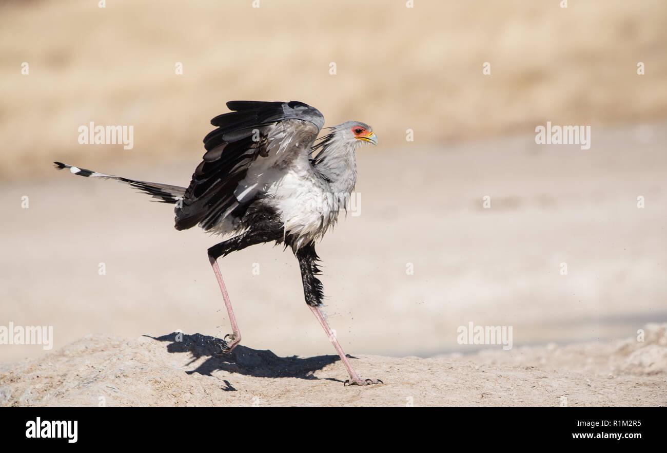 Secretary bird (Sagittarius Serpentarius) close up, Etosha national park, Namibia, Africa Stock Photo