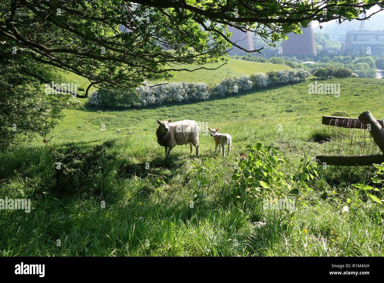 Springtime in Shropshire, England, Uk Sheep ewe with her lamb - Stock Image