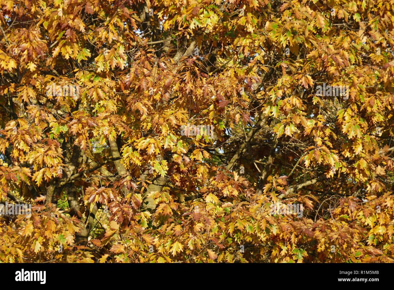 yellow discolored oak leaves on branches, Germany, Europe  I gelb verfärbte Eichenblätter an Ästen, Deutschland, Europa I Stock Photo