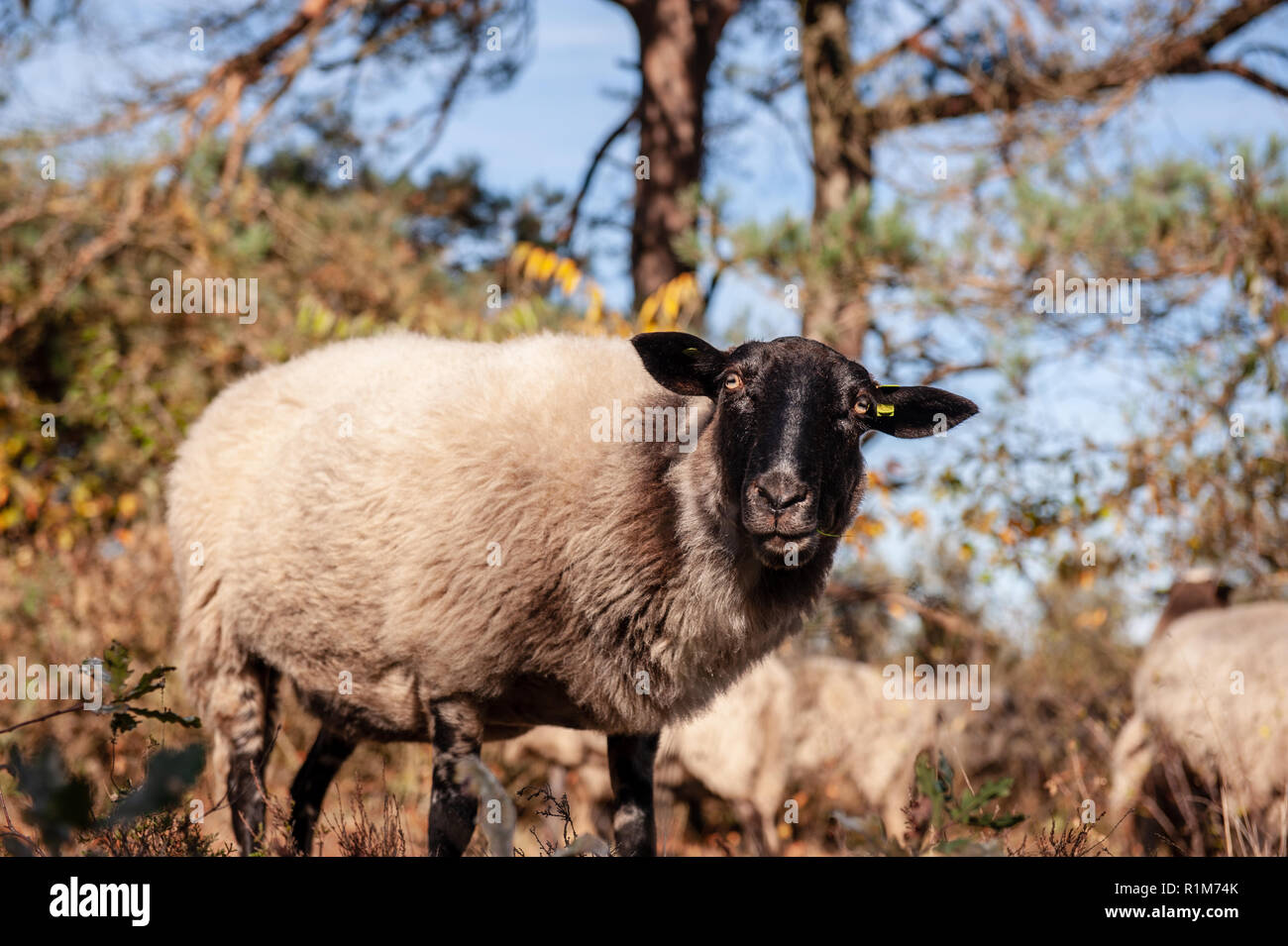 A herd of Heather Sheep grazing at the Drentse AA area, near the Town of Zeegse, at the moorlands, in the North of the Netherlands. Image from a fall - Stock Image