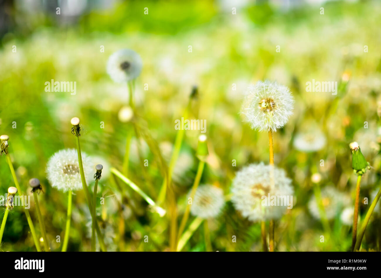 Dandelion seed outdoors closeup in white and green colors - Stock Image