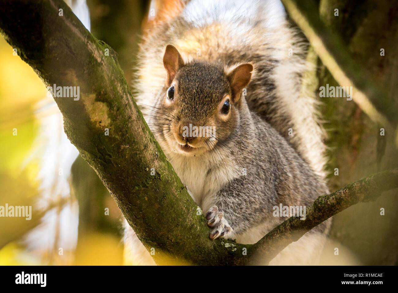 Grey squirrel in autumn sunshine. - Stock Image