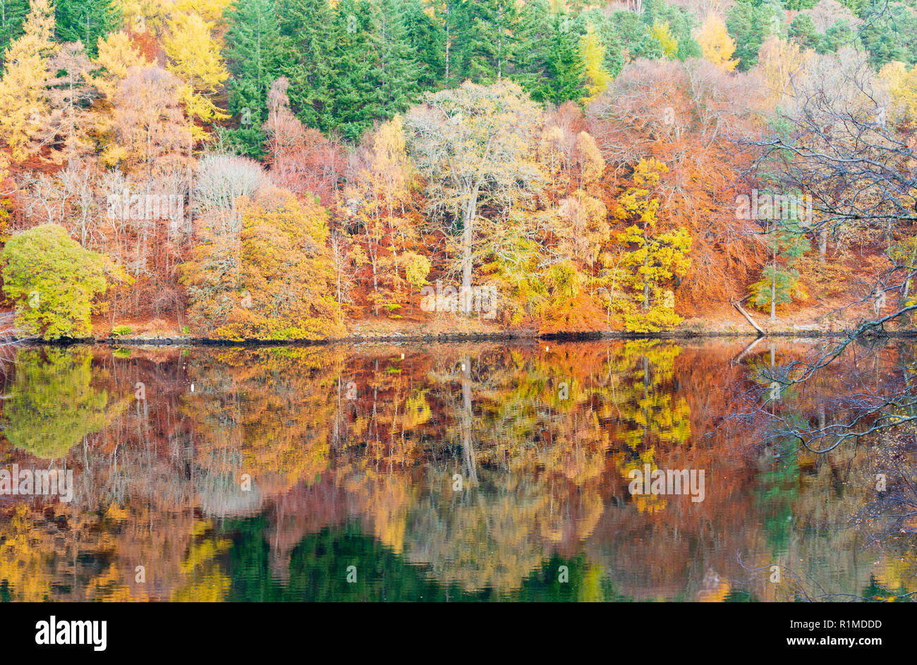 Spectacular late autumn tree colours  are reflected in the waters of Loch Faskally in Pitlochry, Perthshire, Scotland, UK. - Stock Image