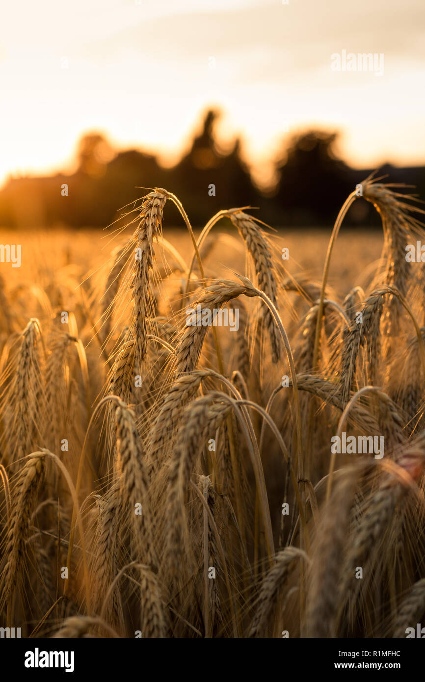 Field shines gold from the sun - Stock Image