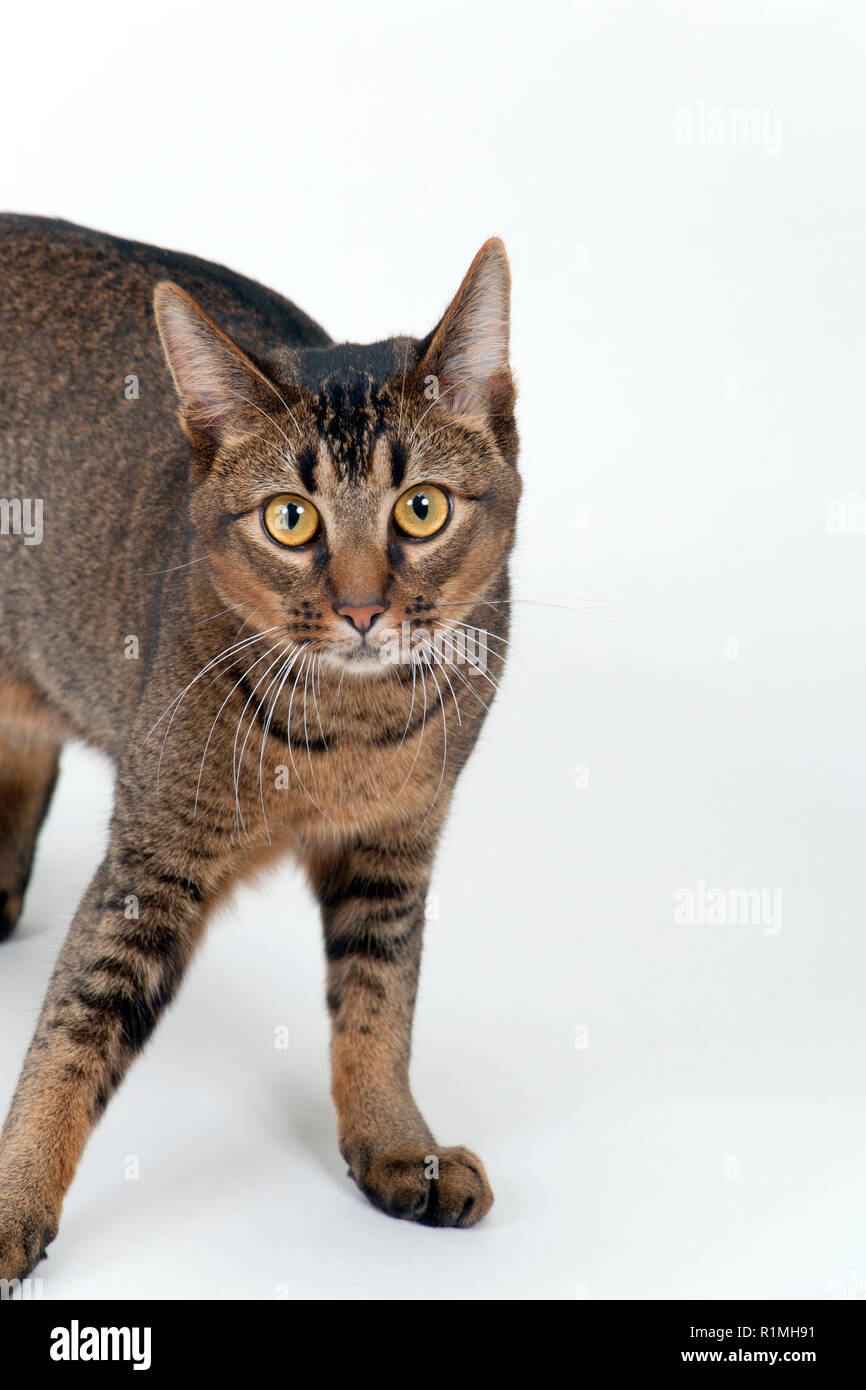 Studio shot on white seamless of a cute part-Abyssinian young male cat with stunning amber coloured eyes standing looking at the camera - Stock Image